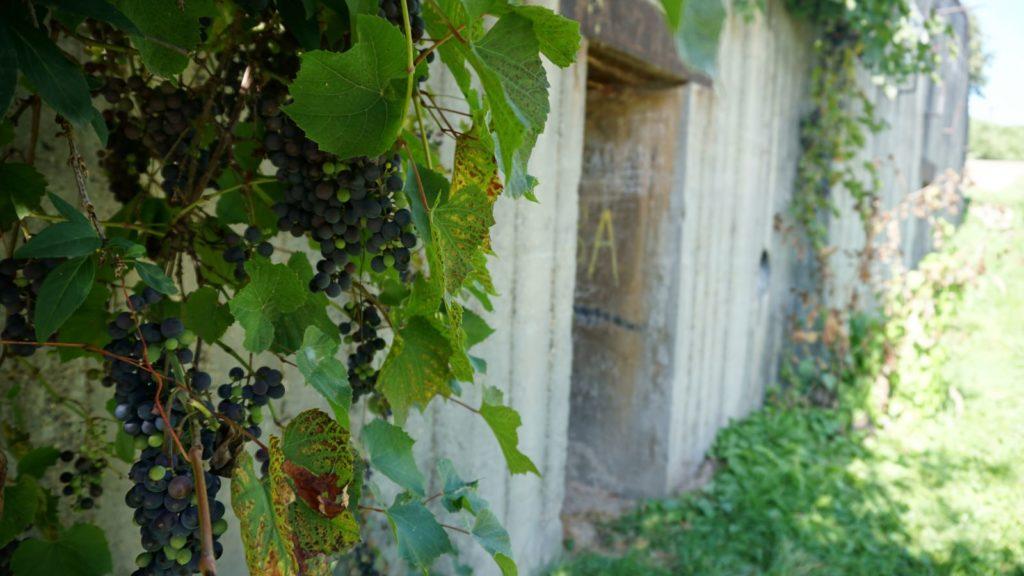 Schron bierno-bojowy porastają winogrona