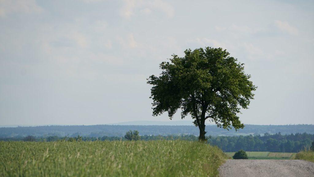 Samotne drzewo wPakosławiu